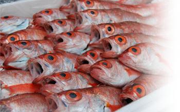 漁獲量が少ないため希少価値が高く一般にはあまり流れません